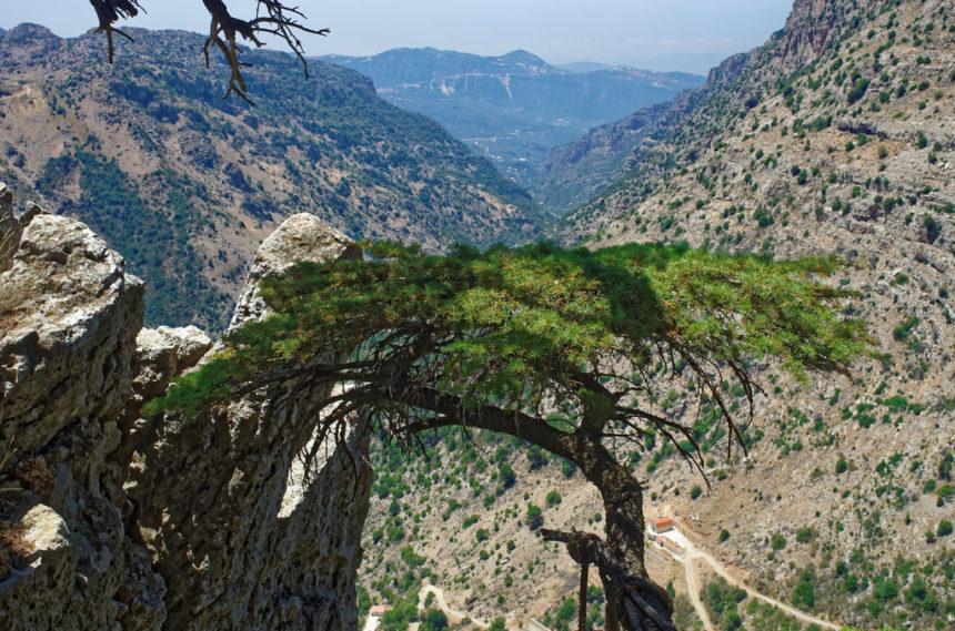 Le Cèdre du Liban, un emblème menacé