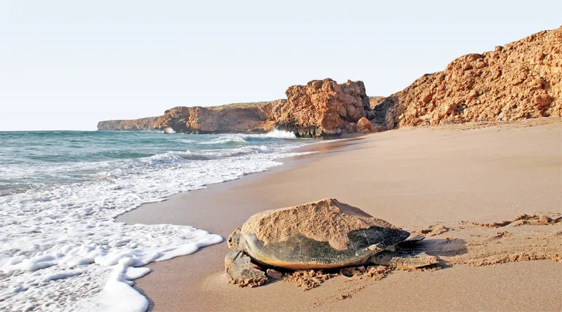 Hard Shelled, Hard Future? The Turtle Sanctuary at Ras al-Jinz